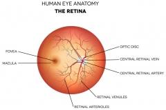 eye-anatomy-retina-optic-disc-artery-and-vein