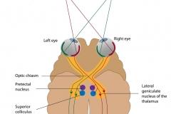 visual-pathway
