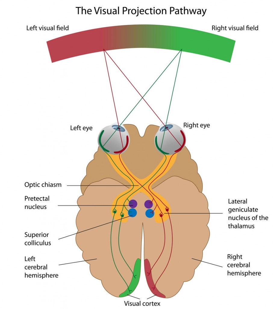 optic nerve visual pathway