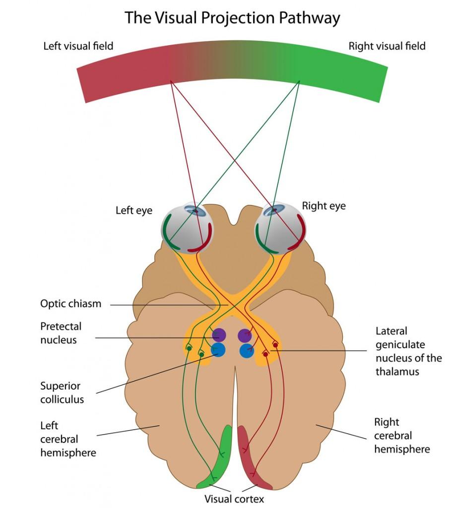 optic nerve visual pathway